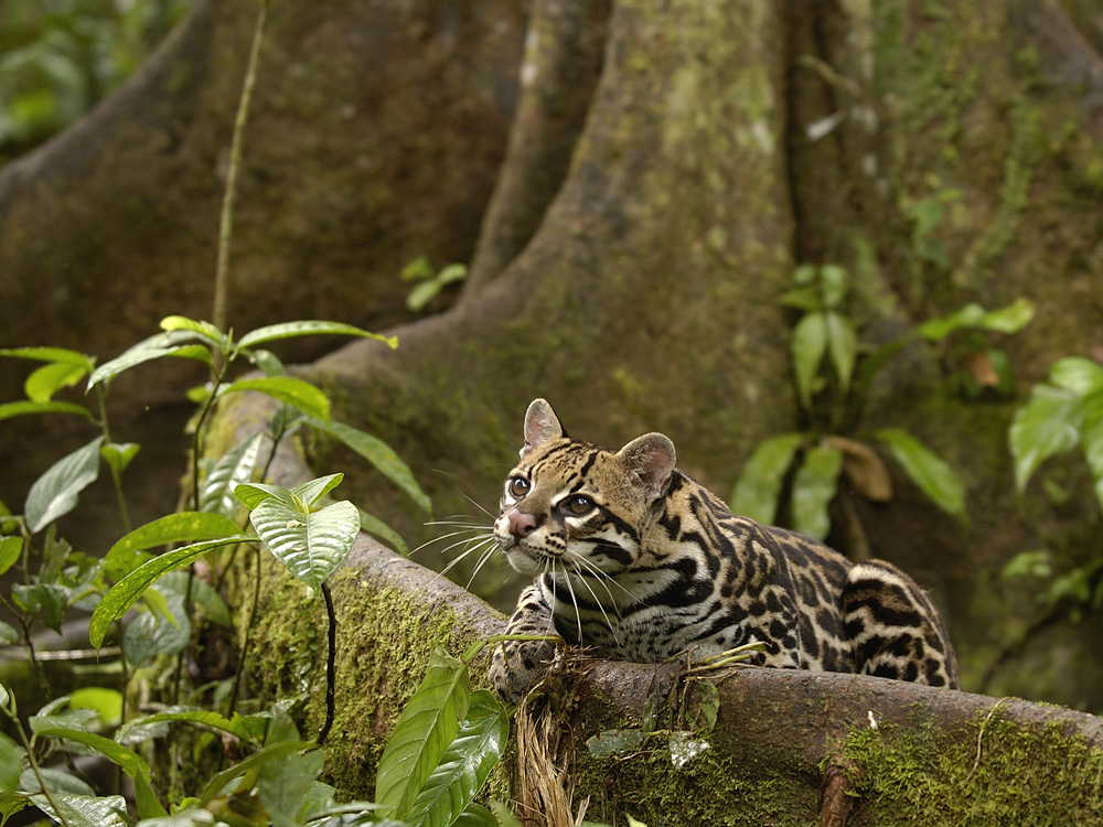 Ocelot (Leopardus pardalis), reclining on buttress root on the forest floor in the Amazon rainforest, Ecuador, South America